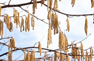 pollen de noisetier